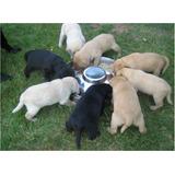 Cachorros Labrador Retriver Abuelos De Pedigree