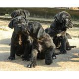 Cachorros De Mastín Napolitano Con Pedigrí