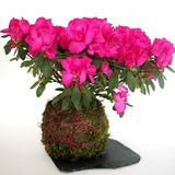 Kokedama De Azalea, Planta Con Flor.(de Interior Y Exterior)