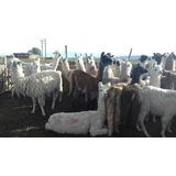 Bellon De Lana Blanca De Llama 5kg