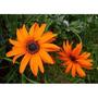 1125 Sementes De Flor Margarida African Sortida