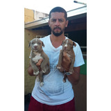 Filhotes Pit Bull Terrier Com Pedegree Cbkc