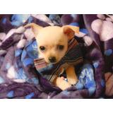 Lindos Cachorros Chihuahua Toy Ideal Para Departamentos