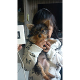 Yorkshire Terrier Enano Tres Meses