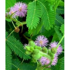 Sensitiva O Dormilona Planta ( Mimosa Pudica ) 40 Cm
