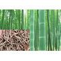 (20) Sementes Bambu Verde 100% Real! + Folheto Como Plantar