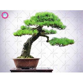 10 Sementes De Pinheiro Negro Japonês Bonsai Raro Fr/ Grátis
