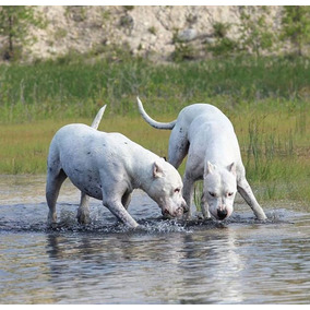 Dogo Argentino 100% Funcional Cachorros
