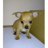 Cachorro Chihuahua Cabeza Manzana Tacita De The