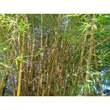 Bambu Cana Da India (phyllostachys Aurea) 50 Sementes