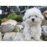Disponible Cachorros Maltés Criadero Shopdoggys