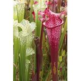 Sarracenia Plantas Carnívoras Rizomas Adultos De 5 Años