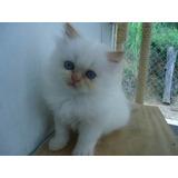 Gatos Gato Persa Exotico Blanco Ñato Ojos Grises Claros Vend