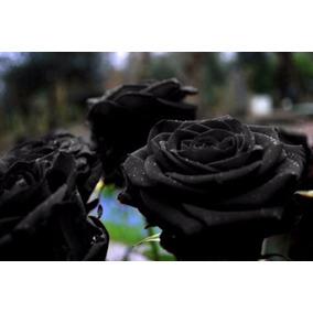 50 Sementes De Rosa Negra Flor Super Promoção