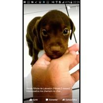 Vendo Filhote De Labrador Fêmea 3 Meses