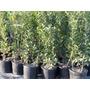 1 Planta Laurel Europeo Laurus Nobilis Aromatico Condimento