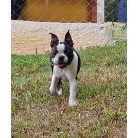 Lindas Meninas De Boston Terrier!