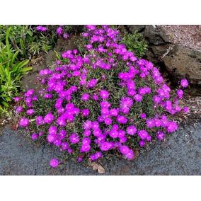 100 Sementes De Cacto Margarida - Lampranthus Productus