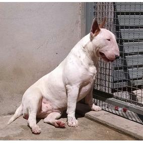 Filhote De Bull Terrier ( Branco )