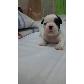 Bulldog Francês Branco Com Preto