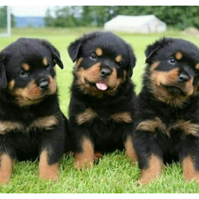 Rottweillers ( Cachorros & Puppies)