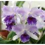Muda De Orquídea Lc Mary Elizabeth Bohn Royal Flare