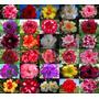 Kit 20 Sementes Rosa Do Deserto Adenium Obesum Frete Gratis