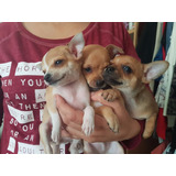 Cachorros Chihuahuas Machos 2 Meses De Nacidos