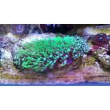Coral Pack 6 Diferentes Corales