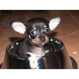 Dispongo Cachorros Chiguaguas Machos Y Hembras De Venta