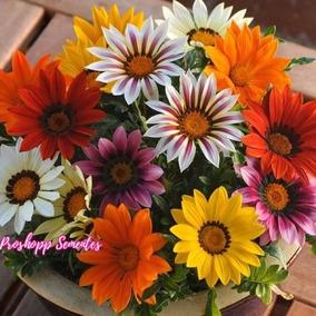 35 Sementes Da Flor Gazania Gazanias Variadas Sementes Mix