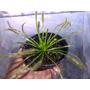 Plantas Carnivoras Droseras Varias