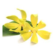 20 Sementes De Ylang Ylang Árvore Perfume Channel Nro 5