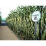 Sementes Milho Verde E Silagem Bm3061 - 60 Mil Sementes