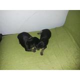 Perros Mini Pincher