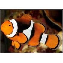 Peixe Palhaço True Percula Onix ( Nemo) Pq 3 A 4 Cm Marinho