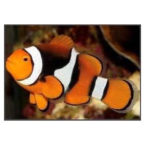 Peixe Palhaço True Percula Onix ( Nemo) Pq 4 A 5 Cm Marinho