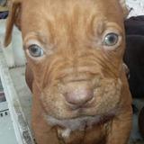 Cachorros Pitbull 100%puros