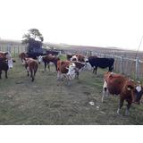 Vacas Preñadas Y Gordas!