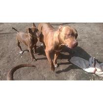 Cachorros Pit Bulls Urgente