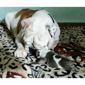 Lindos Filhotes De Bulldog Inglês Linhagem Importada Dos Eua