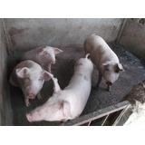 Venta De Cerdos , Marranos , Puercos