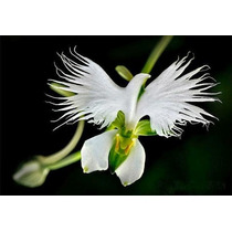 20 Sementes Orquídea Pomba Branca Planta Flor Bonsai
