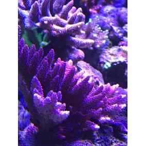Muda De Corais . Mudas De Coral Ora Red Planet