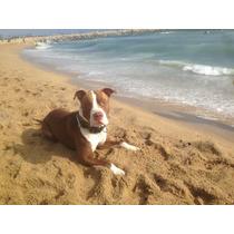 American Pitbull Terrier Red Nose (servicio)