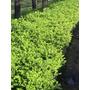 Plantas Para Cerco Buxus Sempervirens