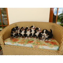 Filhotes De Bernese Mountain Dog. Com Pedigree