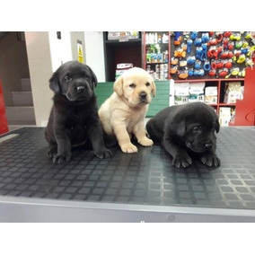 Increibles Cachorritos Labrador Hermosos