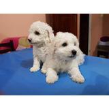 Poodle Toy, Hermosos Cachorros Machos