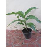 Mudas Da Fruta Noni Morinda Citrifolia Com 25cm